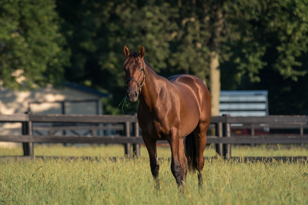 A bay Thoroughbred colt stands in a field of grass