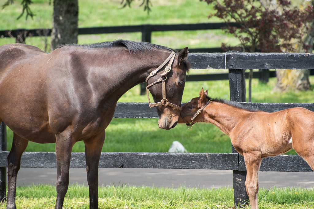 A Thoroughbred mare and her new foal touch noses in front of a fence