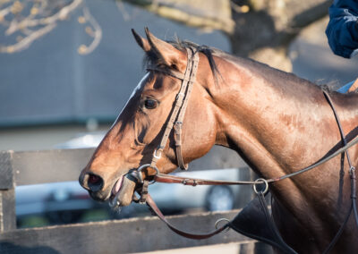 a Thoroughbred racehorse looks off into the distance after morning training