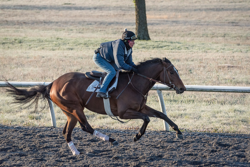 A Thoroughbred racehorse in morning training gallops across the scene left to right